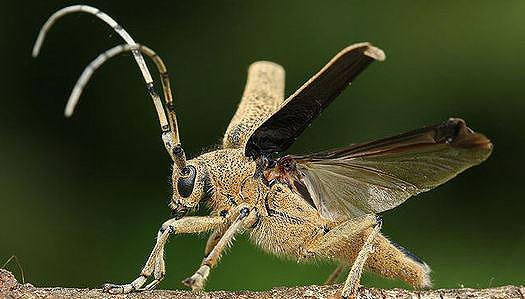 Cerambycid_beetle_open_elytra_s