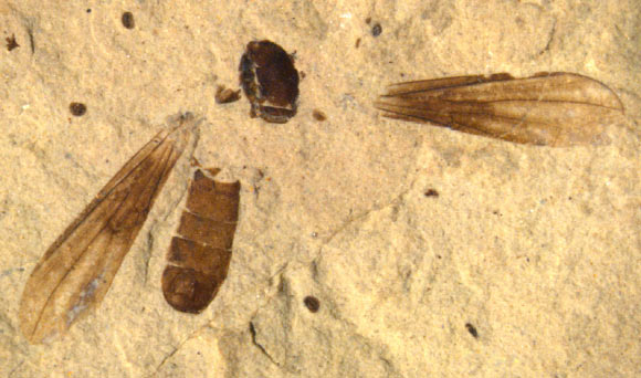 Fossil Fly