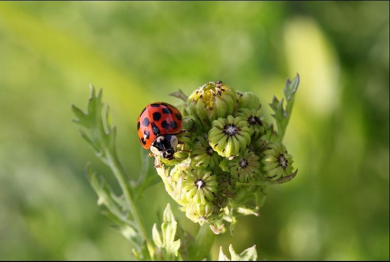 Harmonia axyridis - Harlequin lady beetle (© Strt)