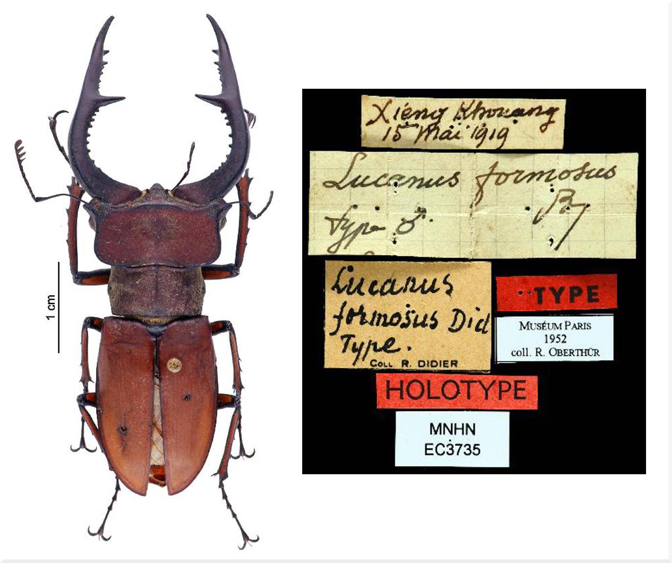 HOLOTYPE Lucanus formosus DIDIER 1925