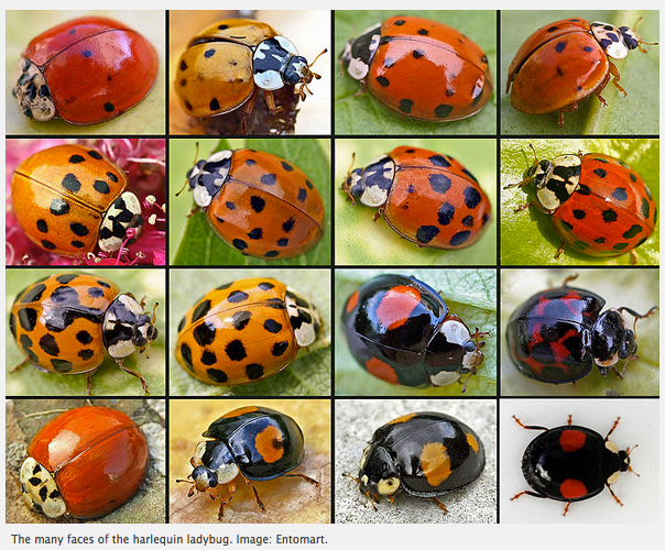 invasive ladybugs secrets of their success wonderful insects. Black Bedroom Furniture Sets. Home Design Ideas