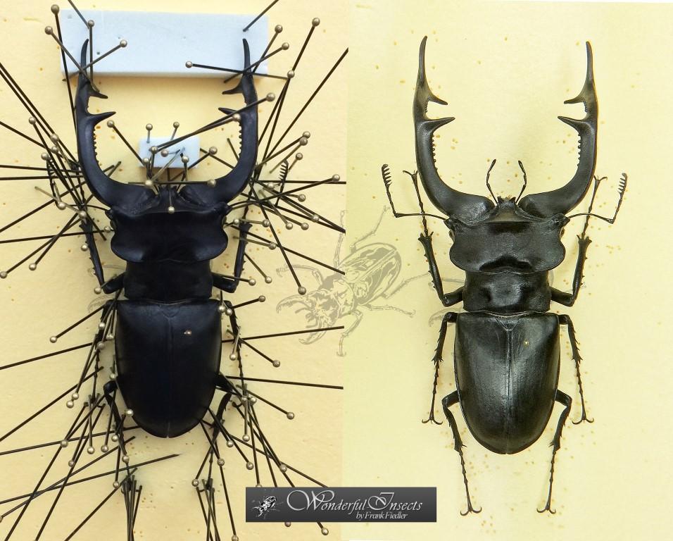 Lucanus cervus ssp. akbesianus PLANET, 1896 - 102 mm (!) N. Syria, 1959